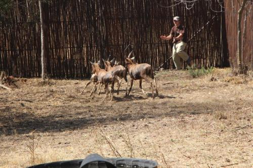 Blesbok being chased to induce hyperthermia