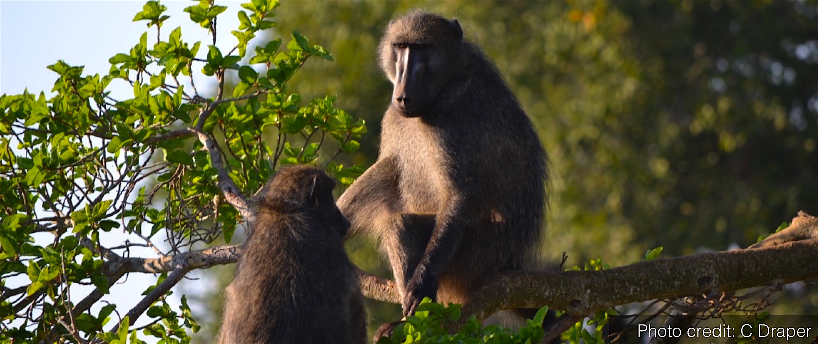 Baboons in tree
