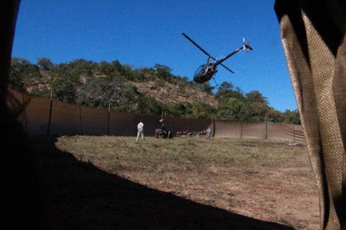 Chasing antelope