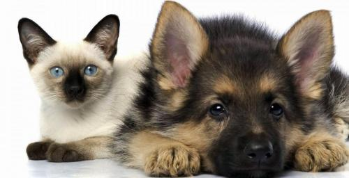 Dog and cat diabetes